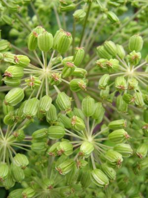 Angelica archangelica, seed
