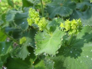 Alchemilla vulgaris, lady's mantle