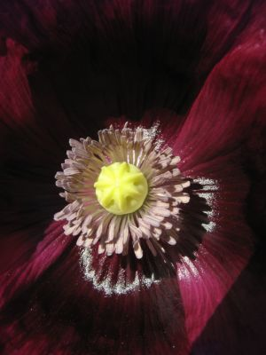 Papaver somniferum, poppy