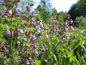 Salvia officinalis, garden sage
